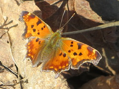 Eastern Comma - Wings Open (Paul 49 55) Tags: butterfly canal nationalpark nps maryland towpath cocanal chesapeakeandohio nhp easterncomma washingtoncounty level49 levelwalker