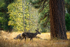Yoosemite Young Buck (Darvin Atkeson) Tags: autumn trees tree fall grass pine forest season nationalpark wildlife young merced deer yosemite tall aspen buck protected darvin atkeson darv lynneal yosemitelandscapescom
