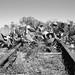 Missouri-Pacific Railway Trestle over Salt Bayou 1410251339bw