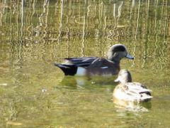 American Widgeon (Patricia Henschen) Tags: arkansasriver americanwidgeon duck canoncitycolorado riverwalk bird birds usroute50