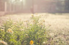 Flowers in winter morning (anshu_si) Tags: park flowers bokeh earlymorning mathura nikon50mmf14d