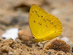 20140916-P1290852-Catopsilia_scylla_cornelia (allaulau) Tags: cornelia scylla catopsilia