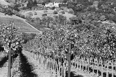 Off the Silverado Trail (lennycarl08) Tags: vineyard wine grapes napavalley