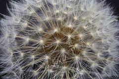 Dandelion (Macroscopic Solutions) Tags: flowers macro botanical dandelion seeds botany macropod macrophotography macrography macroscopic macroscope photomacrography plantsbotany macroscopicsolutions macroscopicsolutionsmacroscopic