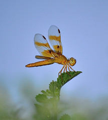 Vegetarian (vgphotoz) Tags: summer arizona macro nature phoenix night lens amber leaf wings nikon dragonfly insects vegetarian nikkor 55200mm d3100 vgphotoz