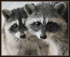 I know...Awww (Maddie2521) Tags: two young raccoon