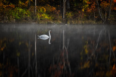autumn impressions (laura's Point of View) Tags: autumn trees lake color reflection bird fall nature water swan pond michigan foliage waterfowl puremichigan elitegalleryaoi lauraspointofview lauraspov