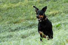 Ida (gutlaunefotos ☮) Tags: hund ida deutscherpinscher