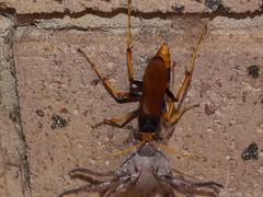 Cryptocheilus bicolor spider wasp Sparassidae Huntsman spider DSCF4162 (Bill & Mark Bell) Tags: exmouth westernaustralia australia geo:town=exmouth geo:state=westernaustralia geo:country=australia geo:lon=11425453egeolat2217752sgeoalt8m 11425453e2217752salt8m taxonomy:kingdom=animalia animalia taxonomy:phylum=arthropoda arthropoda taxonomy:class=insecta insecta taxonomy:order=hymenoptera hymenoptera taxonomy:family=pomplilidae pomplilidae taxonomy:genus=cryptocheilus cryptocheilus bicolor taxonomybinomialnamecryptocheilusbicolor taxonomycommonnamespiderwasp spiderwasp taxonomy:class=arachnida arachnida taxonomy:order=araneae araneae taxonomy:superfamily=sparassoidea sparassoidea taxonomy:family=sparassidae sparassidae taxonomycommonnamehuntsmanspider huntsmanspider spider