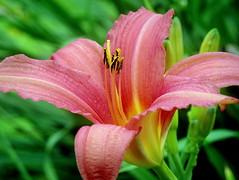 Daylily (PeterCH51) Tags: uk pink red plant flower macro nature closeup garden scotland purple blossom daylily gb makro hemerocallis taglilie inveraray castlegarden flowerscolors inveraraycastle peterch51