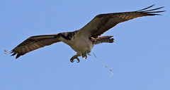 poop osprey
