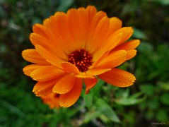 Herbstmorgen (mama knipst!) Tags: autumn flower fleur herbst natur blume ringelblume