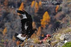 L'Aigle devant moi ! (gil streichert) Tags: golden nikon eagle royal ubaye aguila aquila aigle rapace 300mmf4 aquilla affut
