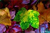 PALETTE DE COULEURS D'AUTOMNE (Gilles Poyet photographies) Tags: automne soe auvergne feuilles puydedôme autofocus royat aplusphoto parcthermal artofimages rememberthatmomentlevel1