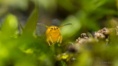 Sminthurinus  aureus (Kugelspringer) Collembola (AchimOWL) Tags: macro nature animals insect tiere natur makro insekt springtail collembola raynox gx7 kugelspringer