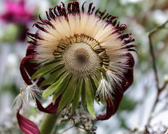 Gerbera Sun (Eve Aebi) Tags: flowers seeds gerbera withering