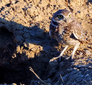 Burrowing Owl - Salton Sea, California