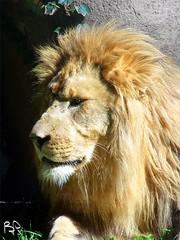 African Lion (Fiat Lupi) Tags: animal mammal feline wildlife lion bigcat predator carnivore