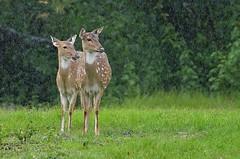 Spotted deers (AnilVarma) Tags: rain animal forest nikon wildlife spotted deers anilmal d7000