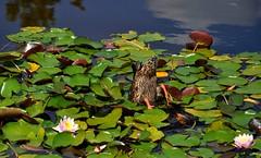 intruso (Martina Santucci) Tags: vienna wien austria duck sterreich lotusflower anatra fiorediloto