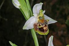 Rhodes 2008 / Ophrys heterochila (luka116) Tags: fleur greece 2008 rhodes grce rhodos ophrys orchidaces ophrysheterochila