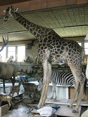 096 (www.taxidermie.be) Tags: girafe