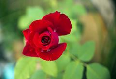 Sixth Day (sampaio) Tags: rose rosas flôres