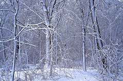 Winter Wonderland Forest (DallasReeves) Tags: trees winter white snow tree nature weather forest scene blizzard snowscene snowforest
