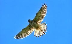 Backlit Beauty (ashperkins) Tags: wingwednesday kestrel falcotinnunculus wings raptor ashperkins eos7d ef100400mmf4556lisusm littleorme penrhynbay northwales