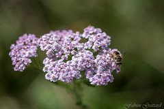 2016-07-29 - 15-55-35 - 5834 (Fabien Guittard) Tags: alpes alps animal et fleur flower hoverfly insecte macro montagne mountain nature summer syrphe syrphidae syrphides vacances vegetal vgtal flowerfly insect syrphidfly bessans hautemauriennealpes france fr