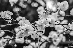 Bliss (Ben Bishop.) Tags: blossom bloss tree flower bokeh fstoppers f18 clarity photoshop lightroom photo shop light room adobe benfrommelbourne nature branch leave leaves bnw black white bandw blackwhite grayscale