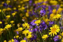 Yellow and Purple (finwyal) Tags: yellow purple spring daisy australia westernaustralia kingspark