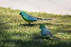 Male Red-rumped Parrots (Luke6876) Tags: redrumpedparrot parrot bird animal wildlife australianwildlife