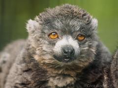 IA154472 (Boyce905) Tags: mongoose lemur
