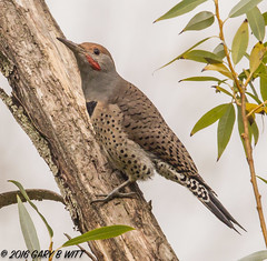 Northern Flicker (orencobirder) Tags: birds largebirds flickrexport woodpeckers