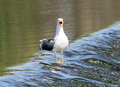 Lesser Black-backed Gull (steven waddingham) Tags: stevenwaddinghamphotography gull sea bird wild british nature coast