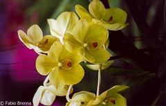 Thailandia0070 (Fabio Brenna) Tags: flower flowers fiori fleurs flores colors orchid orchidea orchidee orchids orqudeas orchides
