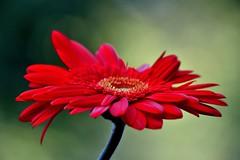 scarlet (doods-Internet so slow :-o) Tags: gerbera scarlet red orange hot flower bloom bokeh garden macro plant excellentsflowers