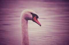 Schwanensee (***toile filante***) Tags: poetic poetisch swan schwan bird vogel lake see emotional feelings emotions soulful nature natur kreativ creative