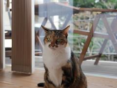 きなこ近影 (detsugu) Tags: 20161007 cats kinako
