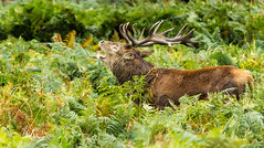Red Deer Stag (CJPhotography UK) Tags: wildlife nature natur animal deer reddeer mammal male antlers antler buck stag horns plants plant fern ferns green forest outdoors outdoor red sun sunlight light lighting photography canon telefoto