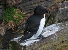 Razorbill (Bill Bowman) Tags: razorbill alcatorda auk pelagicbird ltrabjargcliffs iceland sland
