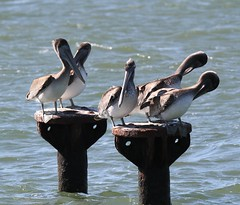 Brown Pelican (Pelecanus occidentalis) 10-10-2016 Pt. Lookout SP, St. Mary's Co. MD 2 (Birder20714) Tags: birds maryland pelicans pelicanidae pelecanus occidentalis