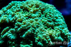 Caulastrea sp. _Hulk_ (AquariumBlog.es) Tags: acuario aquarium peces fish pez marino saltwater water freshwater dulce agua corales payaso clown sepia acantharus pterois pomacanthus barcelona arrecife reef