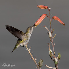 Anna's Hummingbird (ToddLahman) Tags: annashummingbird hummingbird sandiegozoosafaripark safaripark closeup canon7dmkii canon canon100400 honeysuckle escondido