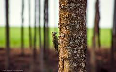 Carpintero Real / Green-barred Woodpecker (Karina Diarte de Maidana) Tags: colaptesmelanochloros greenbarredwoodpecker carpinteroreal