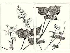 Hyacinth bean (Japanese Flower and Bird Art) Tags: flower hyacinth bean dolichos lablab fabaceae soken yamaguchi maruyama shijo woodblock picture book japan japanese art readercollection