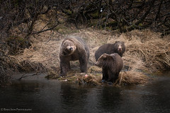 That Mom (rishaisomphotography) Tags: bear grizzly brownbear family nature naturephotographer shake water spray sow cubs baby carnivore omnivoreclaws will wildlife wildlifephotography kodiak alaska deepnorth northamericananimal knwr usfws silly funanimalphotos magpie
