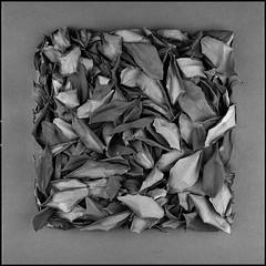 square -leaves- 127 (sirolajos) Tags: hasselblad 500cm planar zeiss bw fomapan100 film d23 stock gossen spotmaster epsonperfection4990photo selfdevelopment analogue analog blackwhite noiretblanc closer details lights shades square