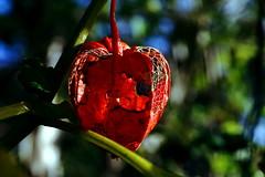 Lampionblume  (Physalis alkekengi) (dl1ydn) Tags: lampion dl1ydn garden